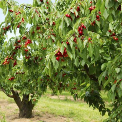 Οπωροφόρα Δέντρα (Γυμνόριζα)